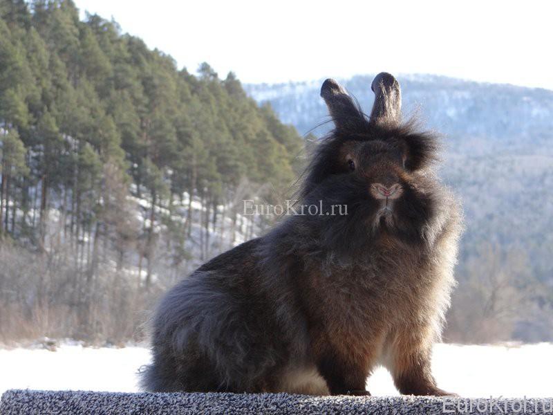 Кролик породы Бельгийский бородач