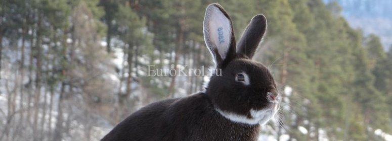 Кролик породы белоостевой