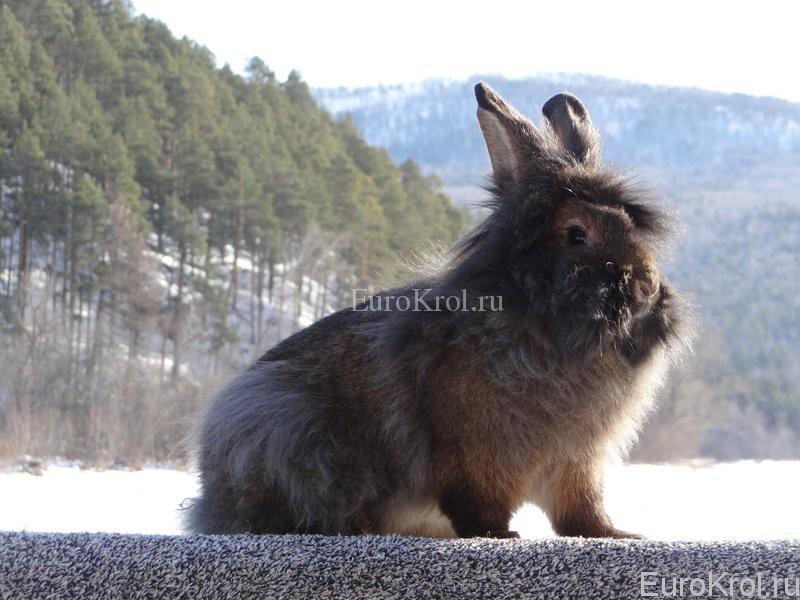 Порода кролика бельгийский бородач