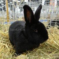 Кролик породы новозеландский чёрный