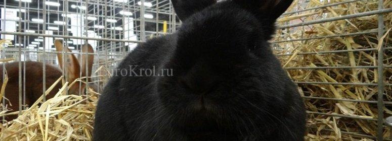 Новозеландский чёрный кролик