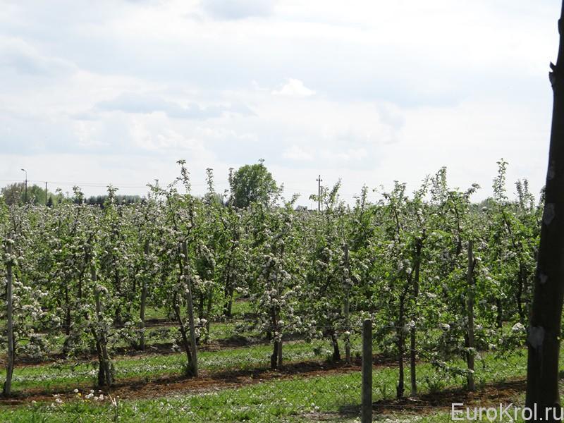 Цветущие яблони в Польше