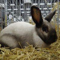 Порода кроликов Саландер