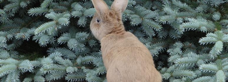Хвоя и кролики