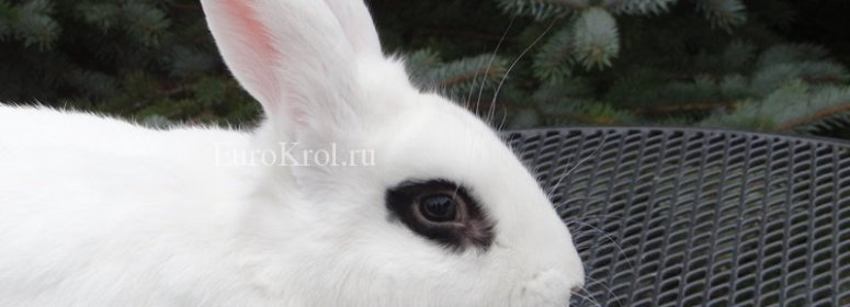white hotot rabbit