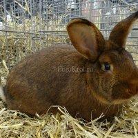 Кролик венский красно-коричневый