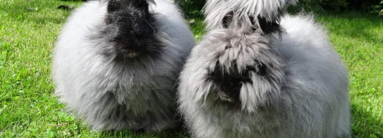 Инбридинг в кролиководстве