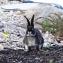 Копрофагия у кроликов