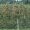 Яблоневые плантации в Польше