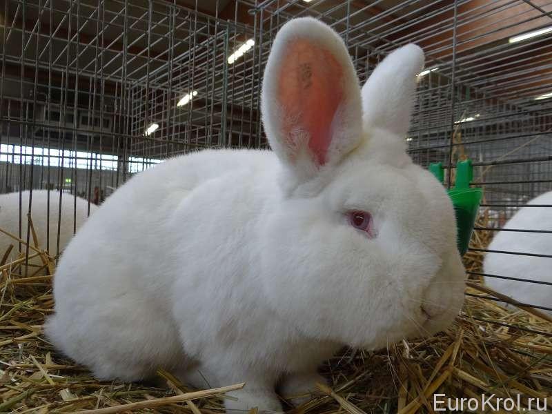 новозеландский белый кролик на бундесшоу