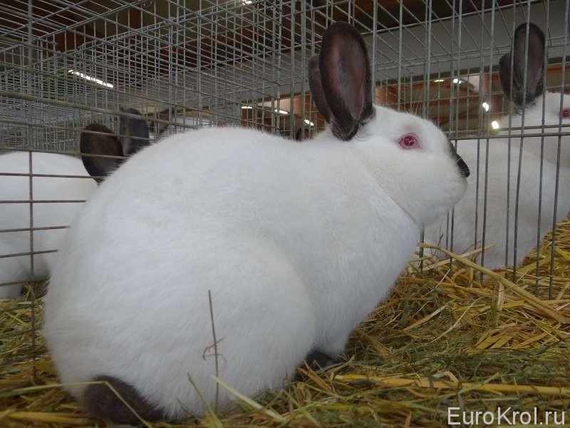 Калифорнийский кролик Бундесшо
