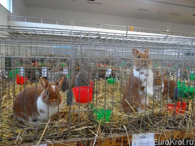 Карликовые кролики на бундесшоу