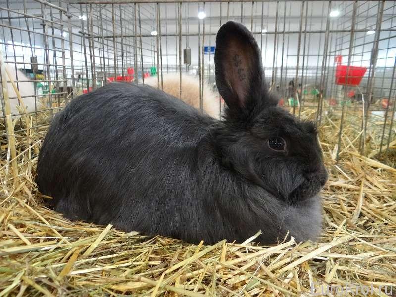 Лисий кролик Бундесшоу