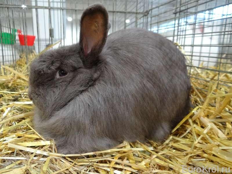 Лисий кролик Бундесшоу Кассель