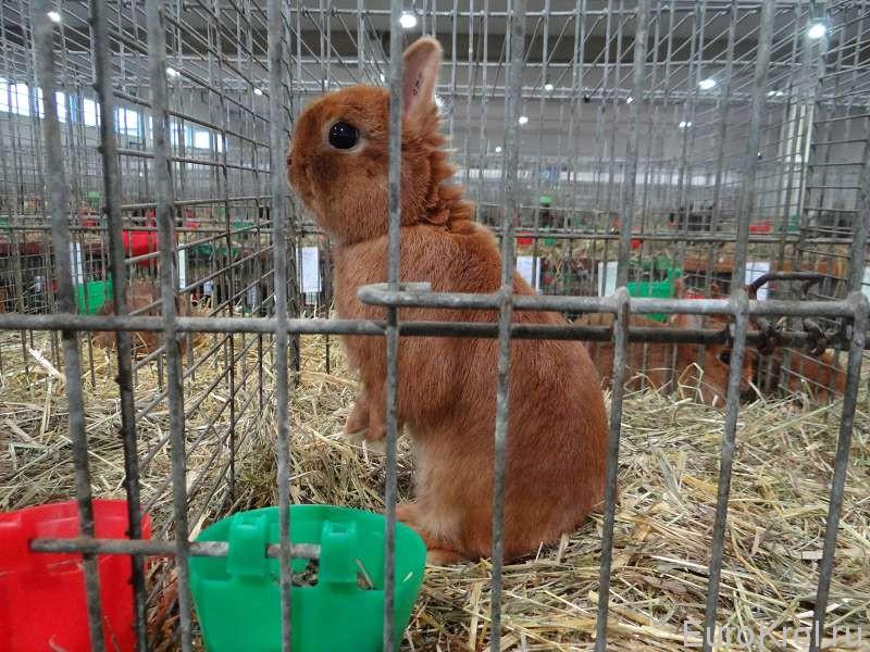 красный карликовый кролик на бундесшоу