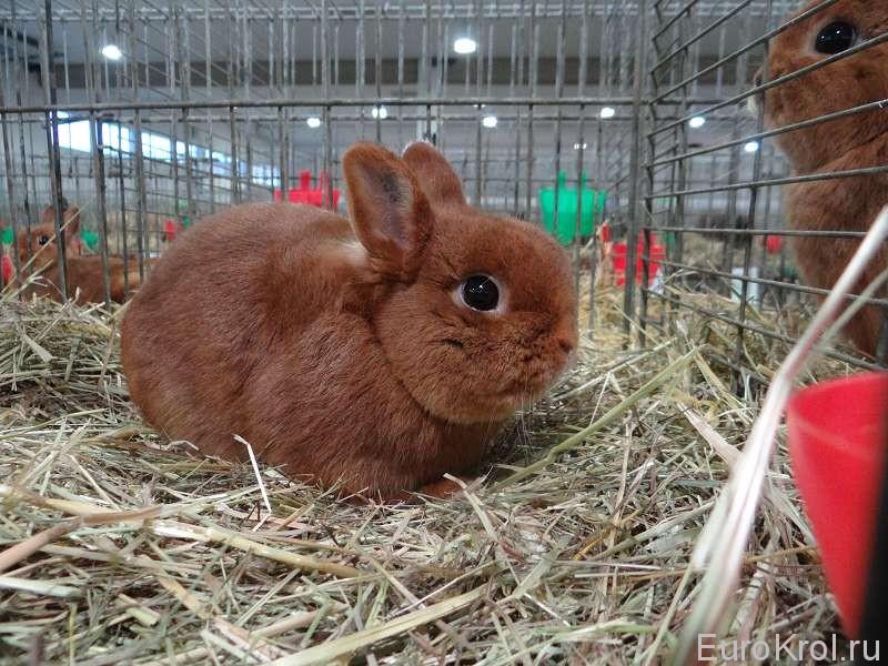Красный карликовый кролик на выставке в Германии