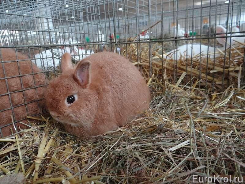 Карликовый красный кролик на выставке в Германии