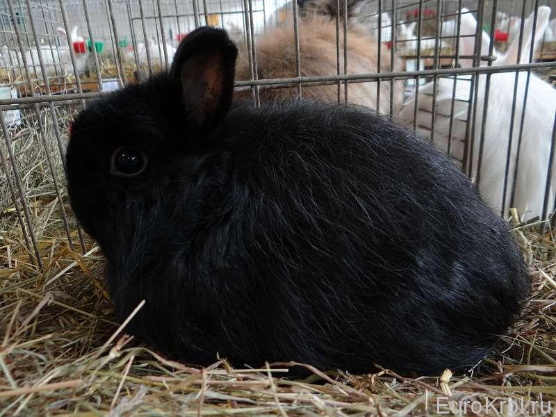 Чёрный лисий карликовый кролик