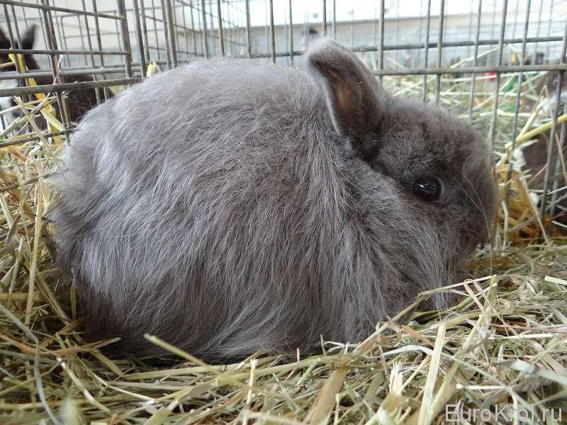 Изабелловый лисий карликовый кролик