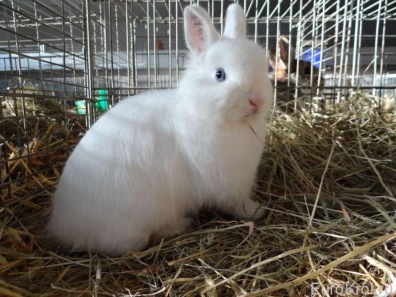 Карликовый кролик с голубыми глазами