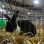 Кролик выставка