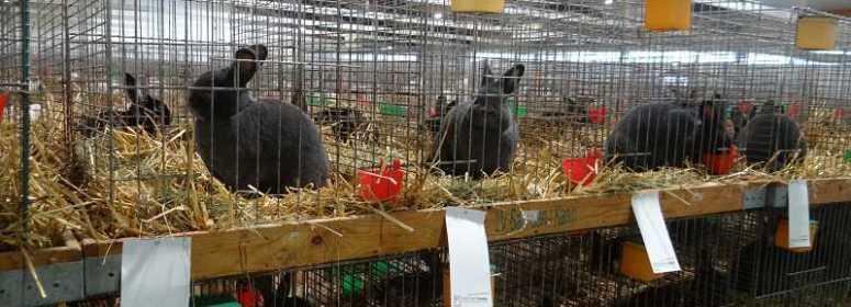 Венские голубые кролики Кассель