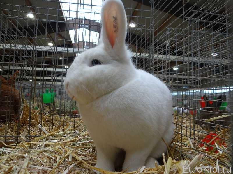 Венский белый кролик на выставке Кассель