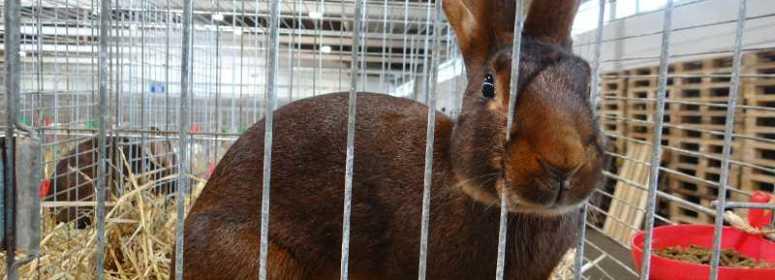 Бельгийский заяц Кассель