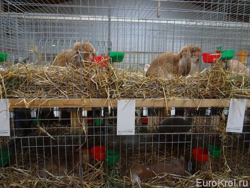 Французский баран рыжий