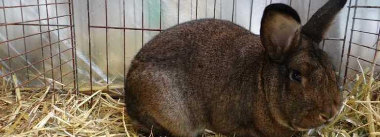Венский серый кролик Кассель