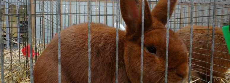 Новозеландский красный кролик Кассель