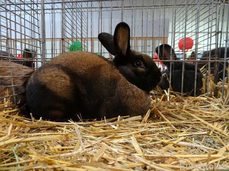 Тюрингенский кролик Кассель