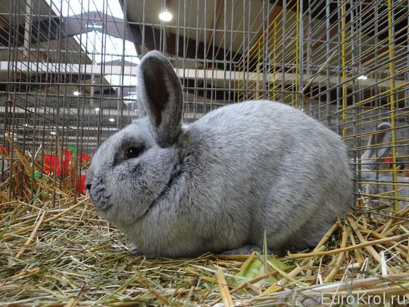 Кролик БСС Кассель