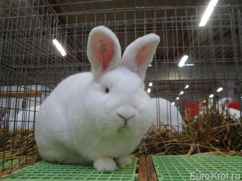 Новозеландский кролик на выставке бундесшоу