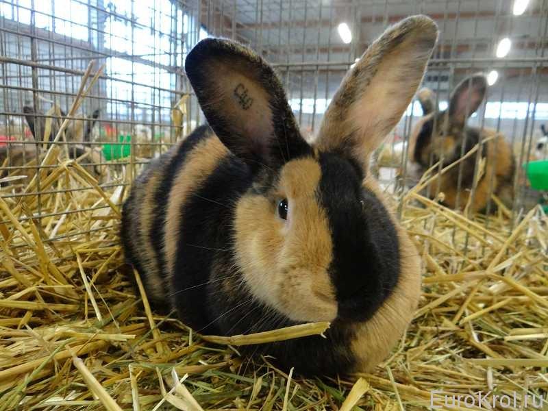 Японский кролик выставка Кассель