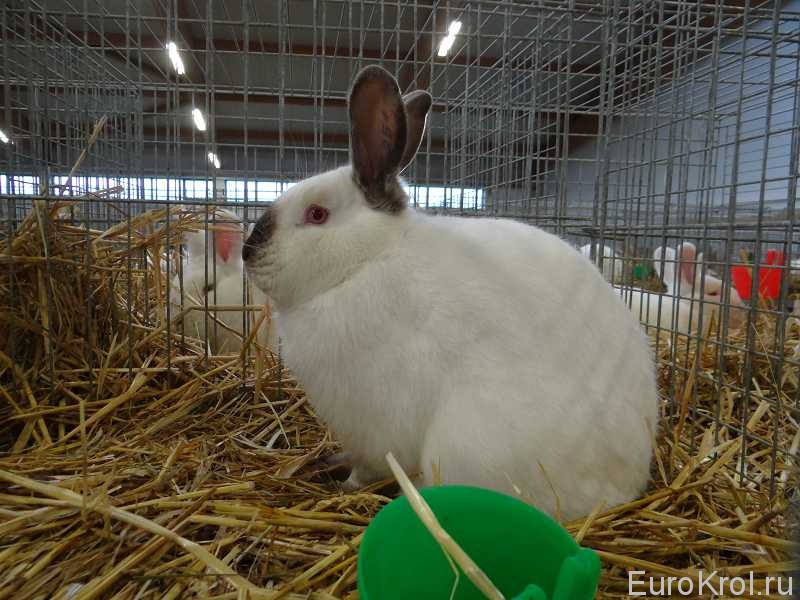 Калифорнийский кролик на выставке Кассель
