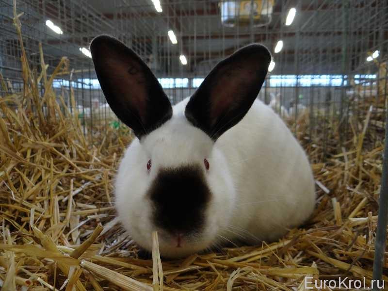 Калифорнийский кролик на выставке Бундесшоу