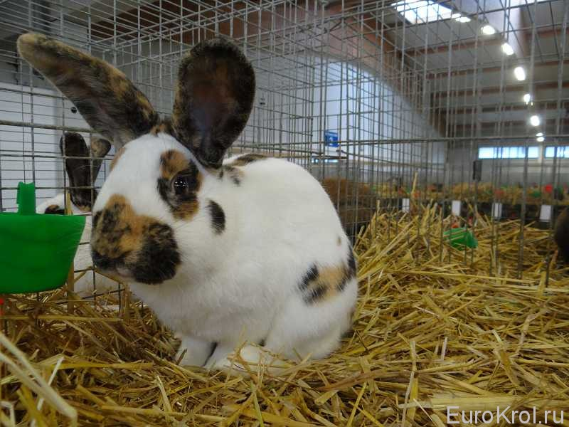 Кролики на бундесшоу