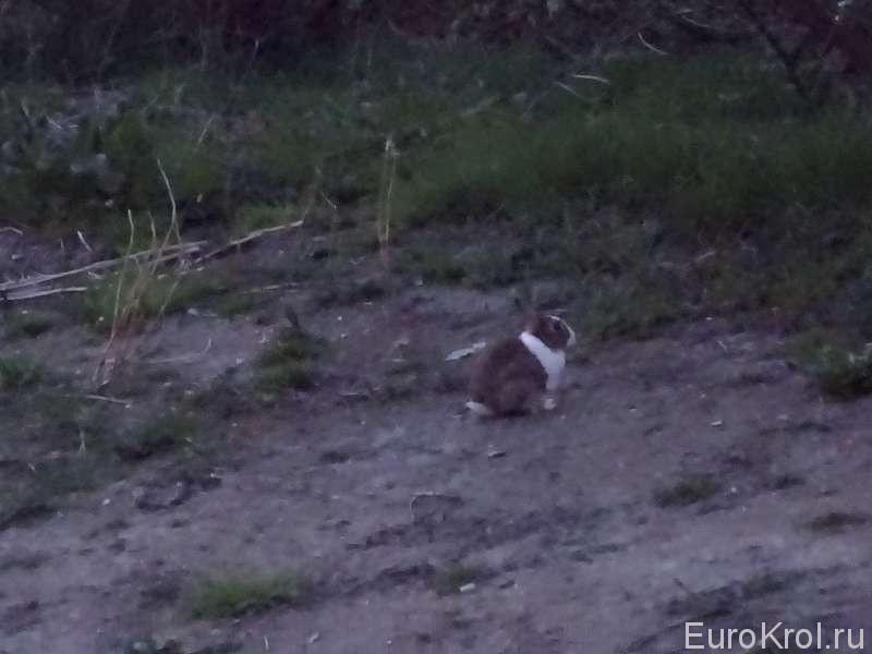 Кролики в Германии на улицах