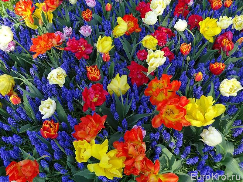 Нидерланды парк тюльпанов