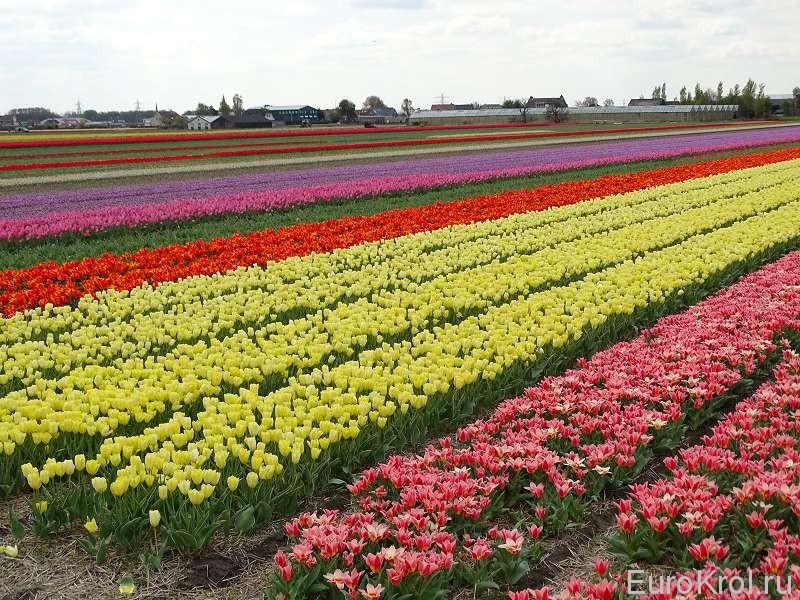 Нидерланды цветочные поля