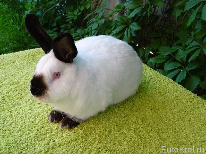Наш калифорнийский кролик