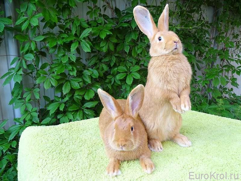 Пара бургундских кроликов