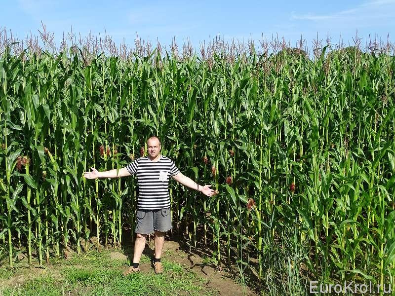 Трёхметровая кукуруза