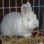 Кролик на выставке
