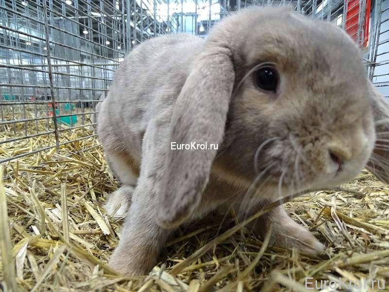 кролик Карликовый серо-голубой баран