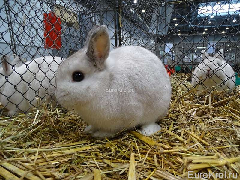 Карликовый чёрноостевой кролик