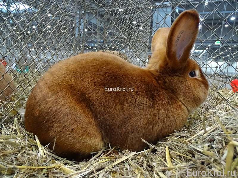 Красный сатиновый кролик Бундесшоу