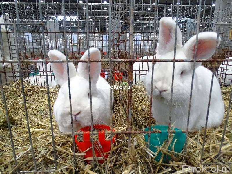 Кролики НЗБ бундесшоу