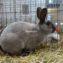 Кролик Рекс мардер голубой